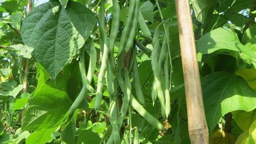 Hướng dẫn gieo trồng giống đậu Cove tứ quý số 8